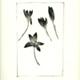 steendruk - krokus 20 x 13 cm